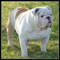 English Bulldogs For Sale