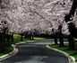 Kenwood Blossoms