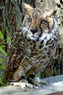 Leapard owl