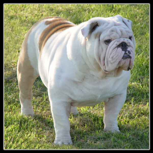 englishbulldogsforsalecom image gallery at weblo bulldogs for sale 600x600