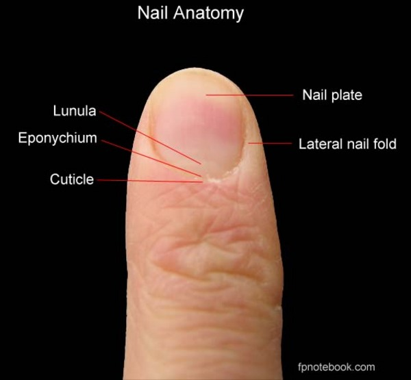 eponychium called cuticle